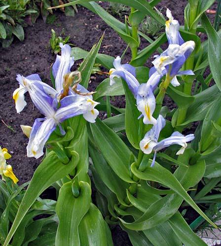 Посадка луковичных ирисов весной и осенью 2019 в открытый грунт: правила ухода и выращивания