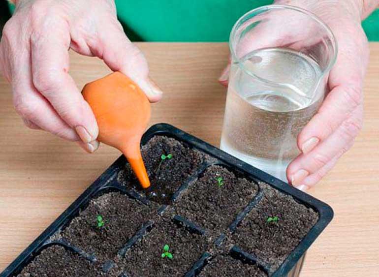 Как правильно выращивать петунию в домашних условиях?
