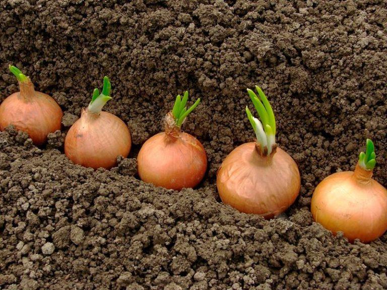 в какой грунт сажать лук севок