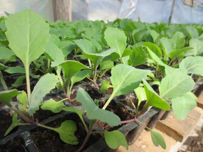Когда сажать капусту на рассаду в 2019 году: сроки посева