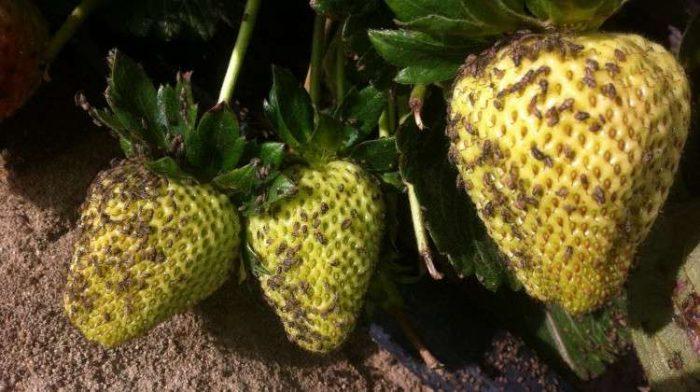 Весенняя обработка клубники от вредителей и болезней: способы борьбы