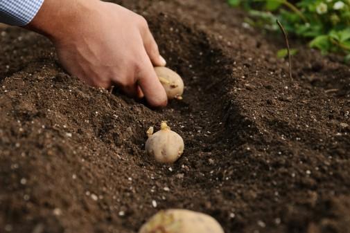 Посадка картофеля на Урале и в Сибири сроки когда садить как правильно