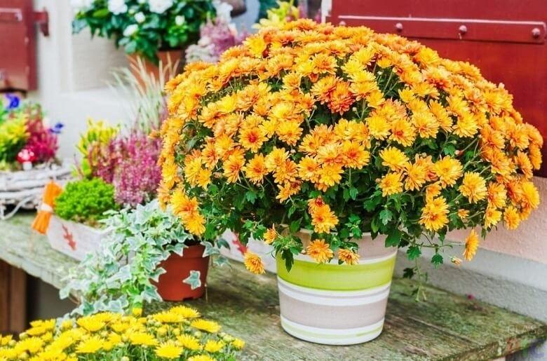 Правила пересадки хризантемы осенью на другое место