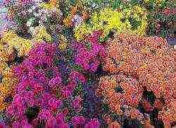 Хризантема посадка и уход в открытом грунте
