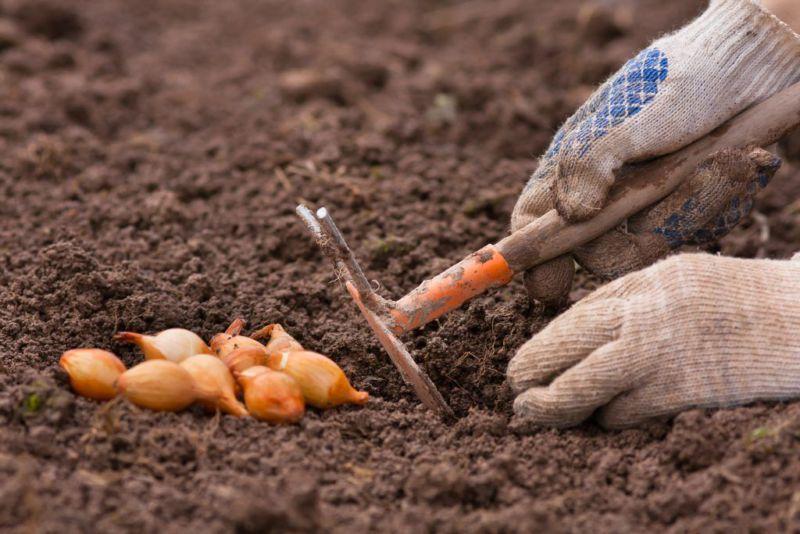 Как сажать лук вовремя и правильно в 2019 году: подготовка, высадка