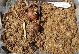 Когда проращивать картофель для посадки