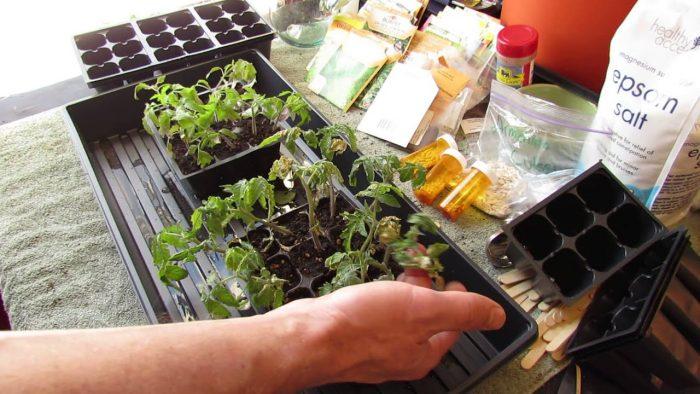 Удобрение рассады перца и томатов: чем подкармливать