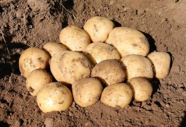 Самые вкусные сорта картофеля для пюре, жарки, варки