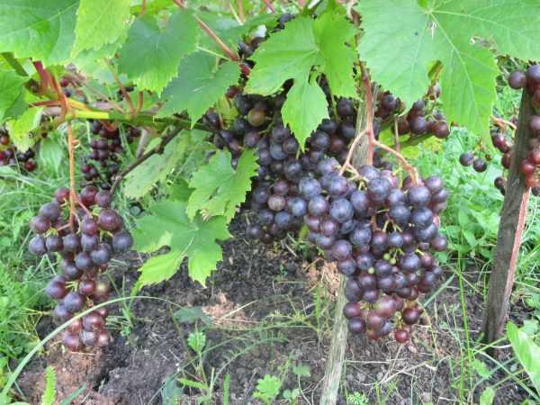 Самые опасные болезни и вредители винограда: каждая болезнь винограда способна погубить растение, как лечить и избавляться от самых назойливых вредителей, оптимальные сроки обработки лозы, как правильно использовать каждый препарат