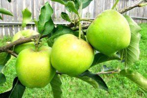 Яблоня Мутсу: описание сорта, фото, отзывы