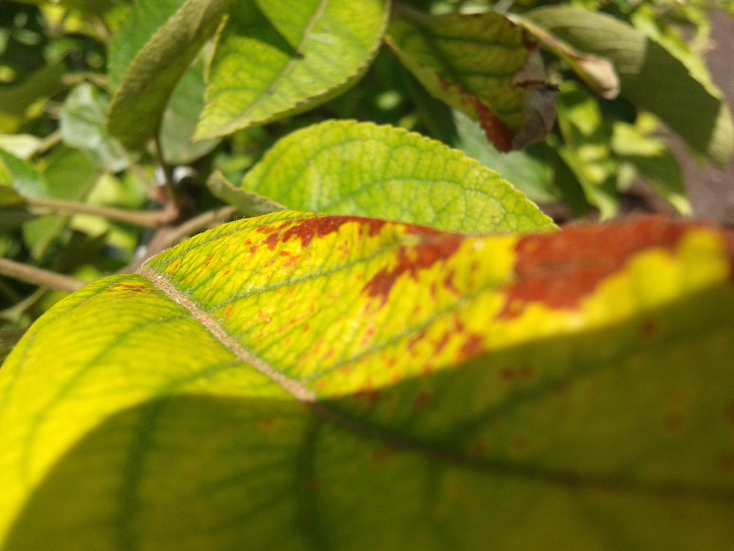 хлороз листьев груши с фото них
