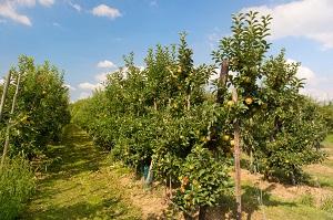 Лучшие сорта яблони для подмосковья 🍏: колоновидные, отзывы, какие сажать в Московской области, самоплодные 🌱 Все о посадке и выращивании
