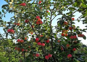 Саженцы яблони для сибири
