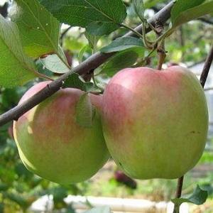 Хорошие и вкусные зимние сорта яблок