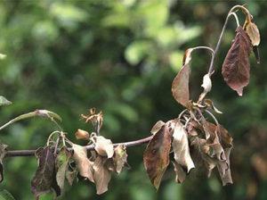 Черный рак на яблоне – как и когда лечить? [2019]