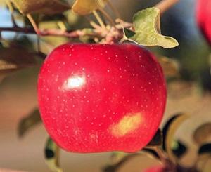 Описание устойчивых к низким морозам яблонь Фуджи