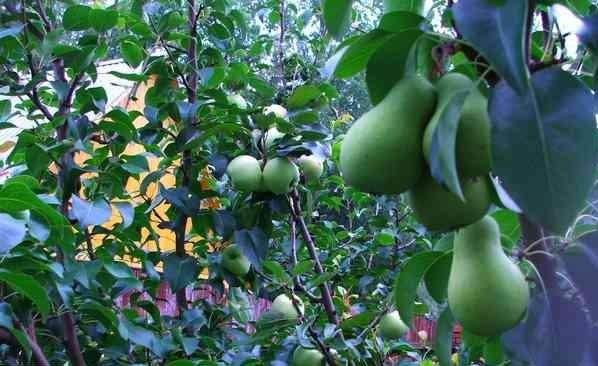Можно ли прививать на грушу яблоню