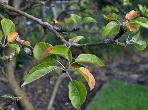 Цитоспороз яблони лечение