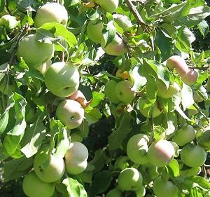 Обзор сорта яблони Феникс Алтайский. Описание сорта яблони Феникс Алтайский, преимущества и недостатки, урожайность