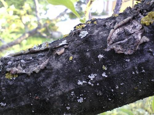 Черный рак на яблони: описание болезни и меры борьбы
