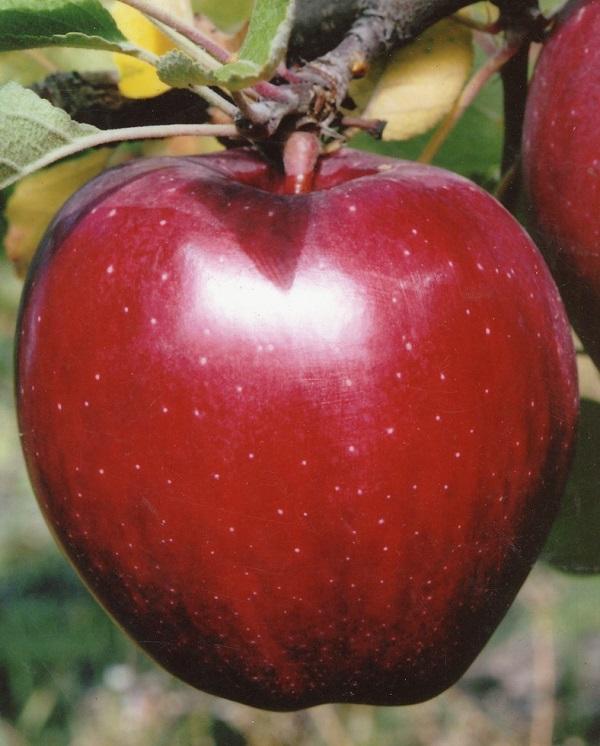 очаровательные создания сорта красных яблок фото с названием теплой воде