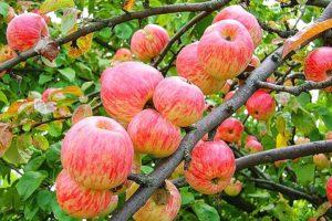 Яблоня Яблочный спас: фото и описание сорта, отзывы