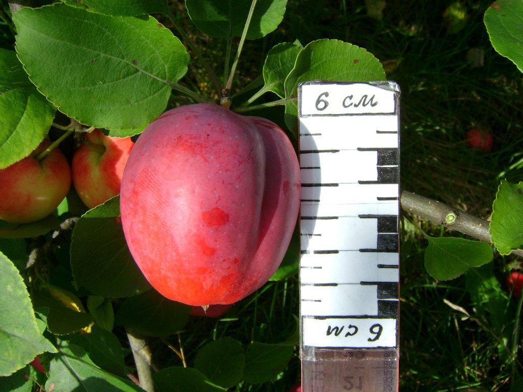 располагает яблони для сибири сорта фото и описание листвянке все