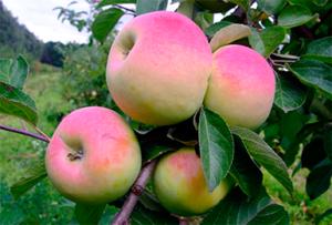 Яблоко имрус описание