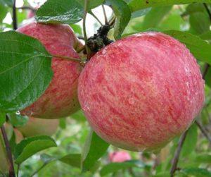 Выращивание яблони Коричное полосатое