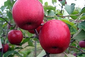 Яблоко вишневое описание сорта