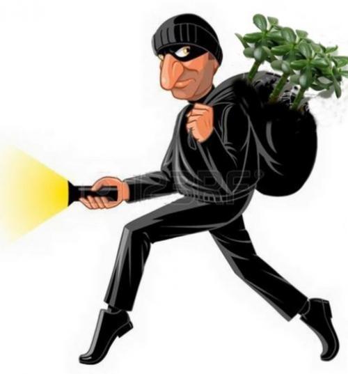 Как правильно сажать денежное дерево, чтобы оно приносило доход