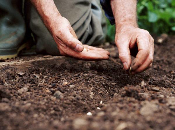 Когда нужно садить на рассаду кабачки в 2020 году?