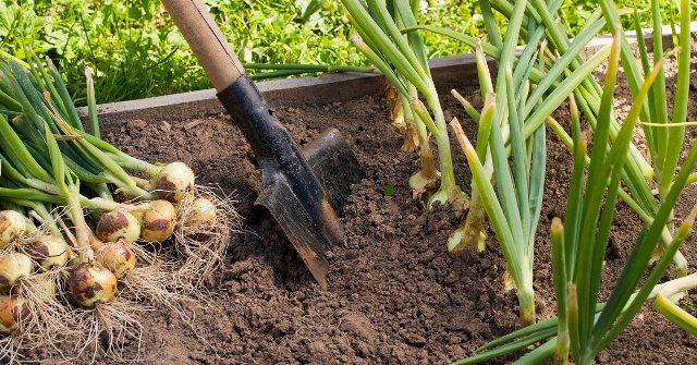 Когда надо валять перо лука на огороде в 2020 году