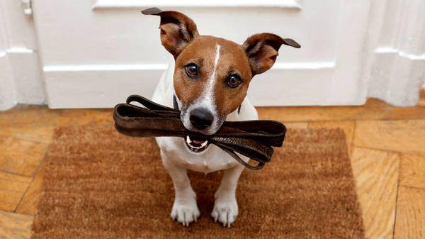 Какой длины должен быть поводок для собаки крупной породы