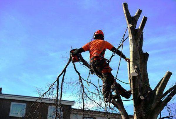 Кронирование деревьев – правила и требования